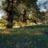 Field of Trees at Cedar Rose Farm