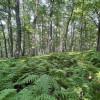 Primitive Ridgetop Forest & Ferns