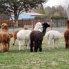 JenEric Alpaca Ranch