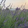 Relaxing, Peaceful Lavender Farm