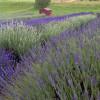 Walla Walla's Lavender Farm