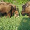 Kahrig Bison Ranch